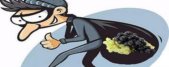 Viticulture: voleurs!